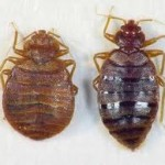 Random image: adult-bed-bug-before-and-after-blood-meal