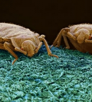 2-bedbugs-up-close