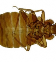 bed-bug-enlarged