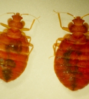 bed-bug-twins-top-view