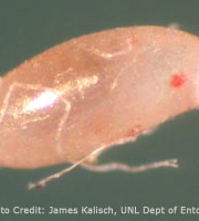 bed-bug-egg-upclose