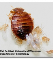 bed-bug-eggs-nymphs-adult