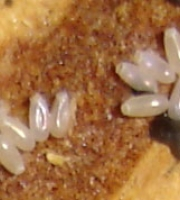 bed-bug-eggs-size-of-salt