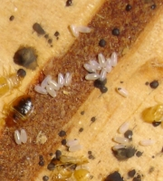 bed-bug-eggs-with-nymphs
