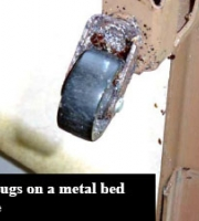 bed-bugs-on-metal-bed-frame