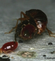 bed-bug-mating-reproduction-3