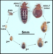 The-Life-Cycle-of-the-Bed-Bug