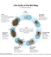 bed-bugs-life-cycle-premium