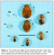 male-female-bed-bug-life-cycle