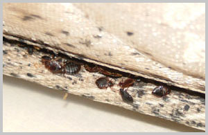 bed bug hide