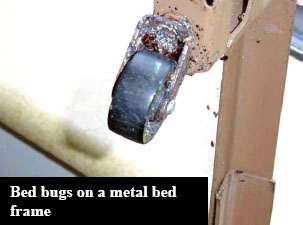 Bed bug on Metal Frame