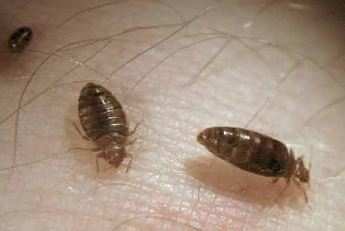 Do Bed Bugs Mate To Reproduce
