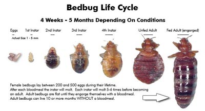 Bedbug Life Cyclical Stage