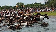 Dozens of brown and white ponies surge out of the shallow water onto a grassy shore crowded with onlookers.